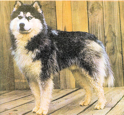 Long Coated Woolly Siberian