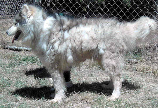 ... - matted, knotted up full of dead and shedding fur – and smelly